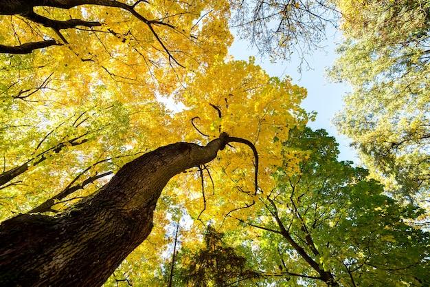 Perspectief-up weergave van herfst bos met fel oranje en gele bladeren. dichte bossen met dikke luifels bij zonnig herfstweer.