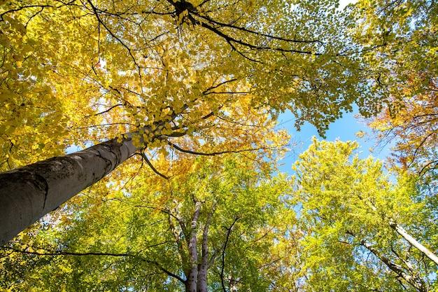Perspectief van beneden naar boven uitzicht op herfstbos met fel oranje en gele bladeren. dichte bossen met dikke luifels bij zonnig herfstweer.