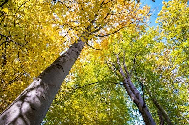 Perspectief van beneden naar boven uitzicht op herfstbos met fel oranje en gele bladeren.