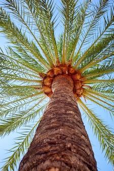 Perspectief van een hoge palmboom tegen een blauwe hemel