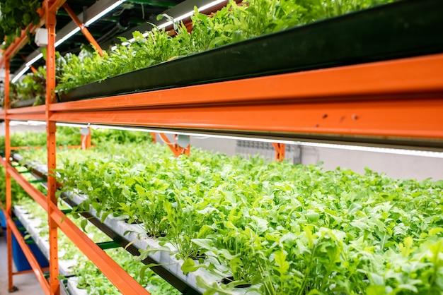 Perspectief van groene zaailingen van nieuwe soorten tuinbouwplanten die groeien op planken in kas