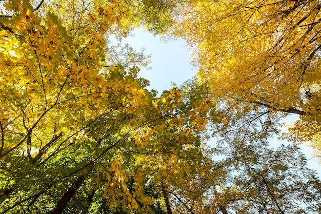 Perspectief zicht op herfstbos met fel oranje en gele bladeren. dichte bossen met dikke luifels bij zonnig herfstweer. Premium Foto
