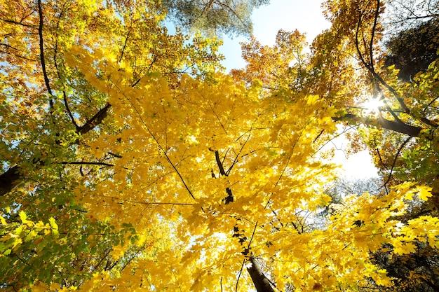 Perspectief zicht op herfstbos met fel oranje en gele bladeren. dichte bossen met dikke luifels bij zonnig herfstweer.