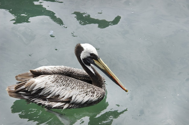 Peruaanse pelikaan (pelecanus thagus)