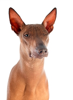 Peruviaanse hond