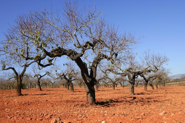 Perzikboomgebied in rode grond