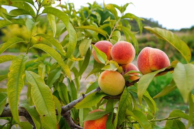 Perziken aan de boom.