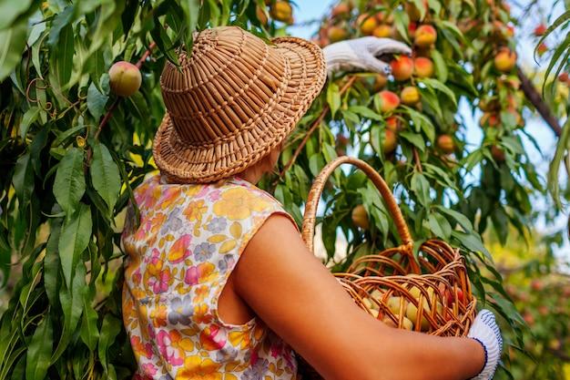 Perziken verzamelen zich. hogere vrouw die rijpe organische perziken in de zomerboomgaard plukt