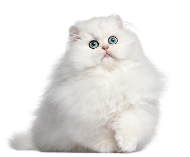 Perzisch kitten, 4 maanden oud,