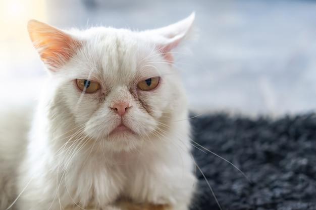 Perzische kat die thuis ligt. huisdier concept