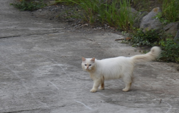 Perzische kat staande op zijstraat in park