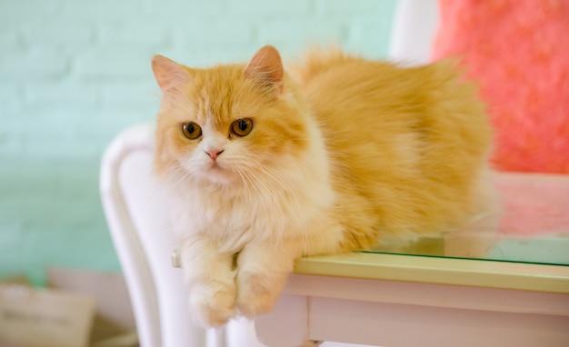 Perzische katten die op lijst liggen