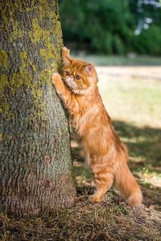 Perzische rode kat scherpt zijn klauwen tegen de boom