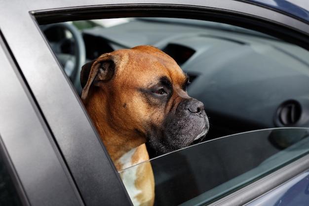 Pet brown dog opgesloten in auto kijkend uit het raam. gevaar