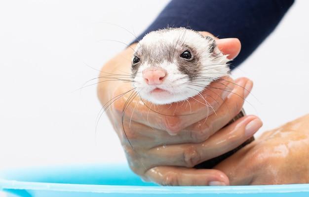 Pet ferret geniet van een binnenbad.