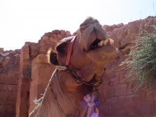 Petra kameel 2