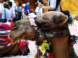 Petra kameel 3