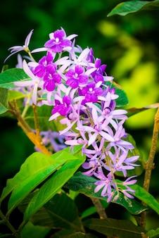 Petrea-volubilis, mooie gezonde tropische purpere klimopbloemen, violette bloemblaadjes in tuin.