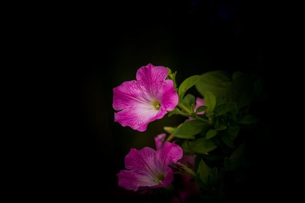 Petunia bloemen in het zwart