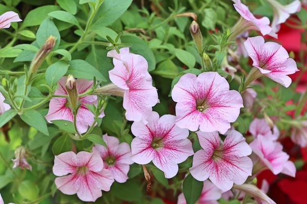 Petunia-bloemen in tropisch