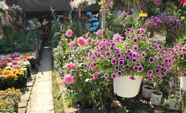 Petunia-bloemen te koop