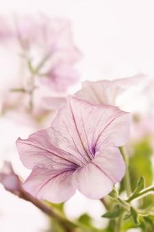 Petunia op wit.