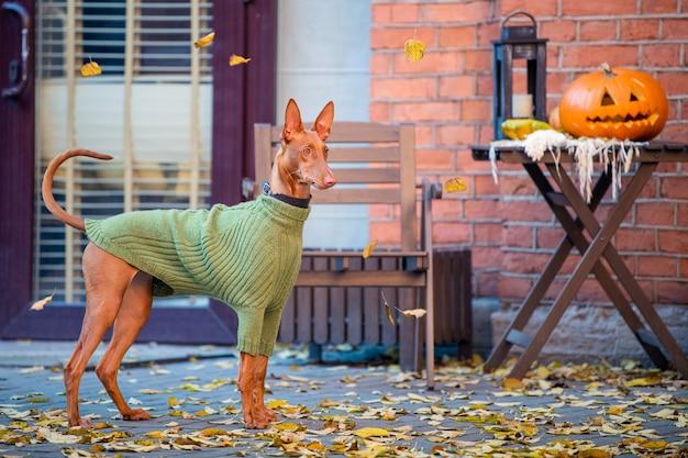 Pharaoh hound zit in een groene gebreide trui bij een tafel met pompoen en zet de kijker aan