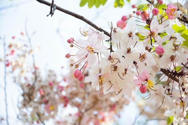 Phaya sua-bloem, prunus-cerasoides, prunus-cerasoides in thais land Premium Foto