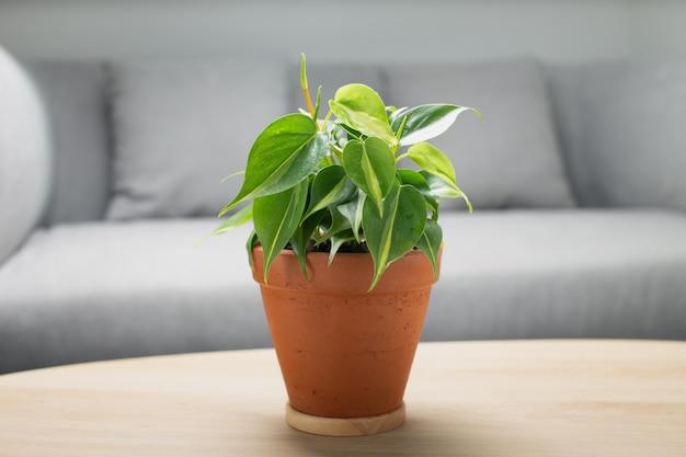 Philodendron crème plons in klei pot op houten tafel in de woonkamer. luchtzuiverende planten voor binnen.