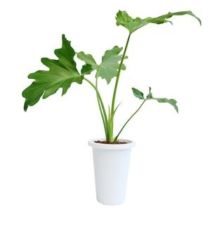 Philodendron selloum botanische tropische kamerplant in moderne witte pot geïsoleerd op een wit oppervlak met uitknippad, exotische hartvorm verlaat plant voor interieur