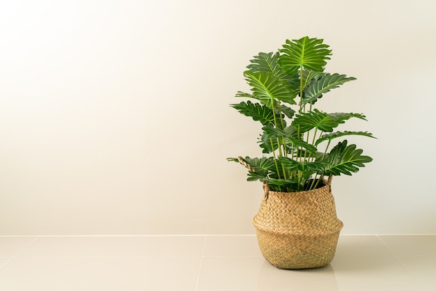 Philodendron xanadu croat in rieten mand pot met muur