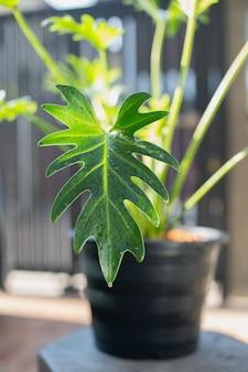 Philodendron xanadu-keel op zwarte plastic potten in de voortuin