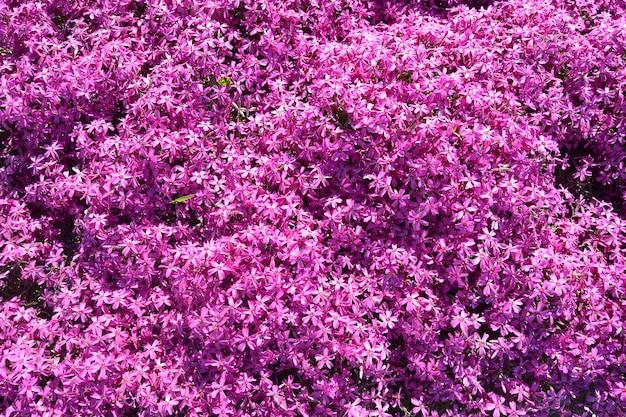Phlox, paarse lente bloemen textuur achtergrond.