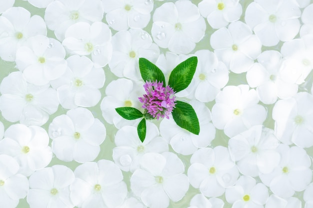 Phlox paniculata op water, textuur en achtergrond van phlox paniculata bloemen
