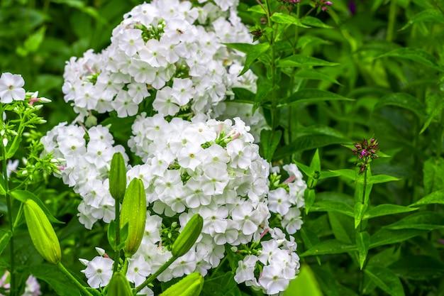 Phlox paniculata. witte bloemen die in de weide op een groene grasachtergrond bloeien