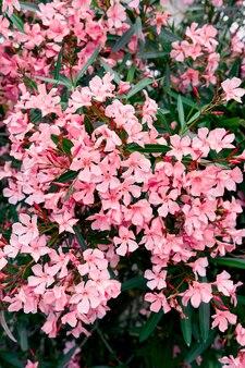 Phloxstruik bloeiend met roze bloemen in het voorjaar