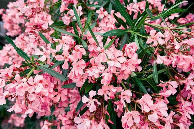 Phloxstruik bloeiend met roze bloemen