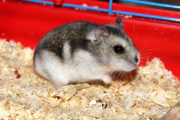 Phodopus sungorus. jungar hamster in een kooi.