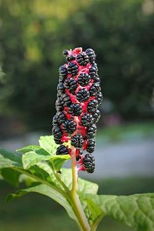 Phytolacca americana, kruidachtige vaste plant.