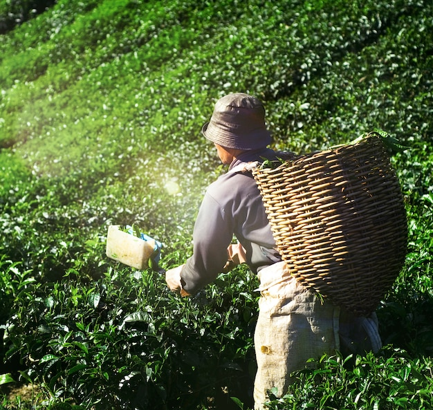 Picker harvesting theebladeren nature green organic concept