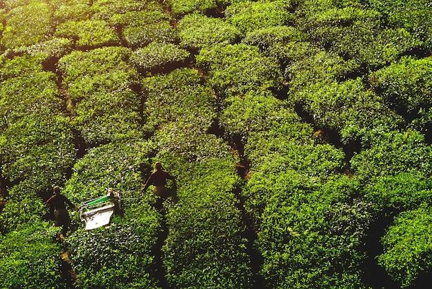 Pickers die theebladen oogsten.