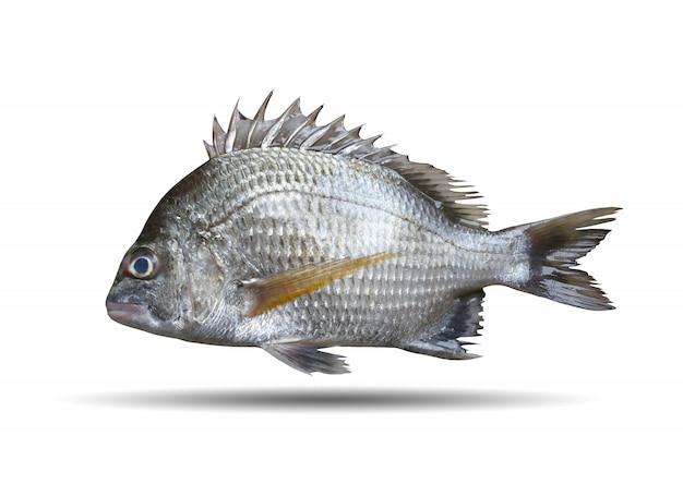 Picknickzeebrasem of sparidae-vissen op wit wordt geïsoleerd dat.