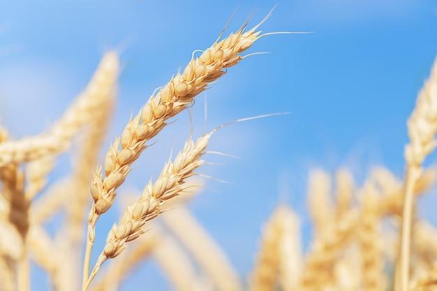 Pieken van rijpe tarwe tegen de blauwe lucht