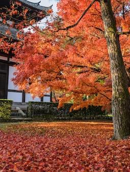 Piekseizoen van esdoornboom van de bladeren van de de herfst rode kleur bij tofukuji-tempel in kyoto, japan