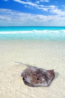 Pijlstaartrog dasyatis americana in caribisch strand