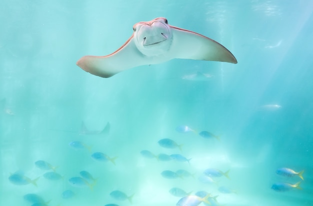 Pijlstaartrog die onder blauwe oceaan zwemmen zoals vliegend in hemel en onder ogen ziend aan camera
