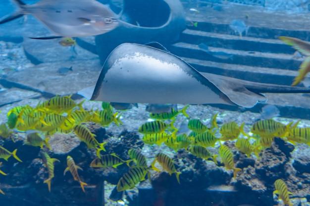 Pijlstaartrog die onder water zwemt. de kortstaartrog of gladde pijlstaartrog ( bathytoshia brevicaudata ) is een veel voorkomende soort pijlstaartrog in de familie dasyatidae . atlantis, sanya, eiland hainan, china.