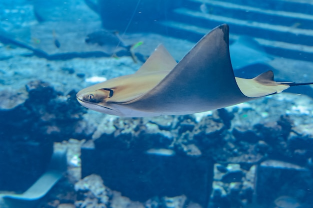 Pijlstaartrog die onder water zwemt. pijlstaartrog wordt ook wel zeekatten genoemd en komt voor in gematigde en tropische wateren. atlantis, sanya, eiland hainan, china.