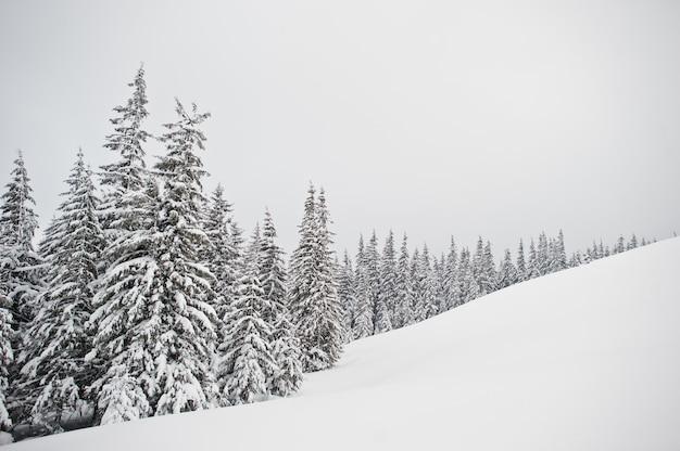 Pijnbomen bedekt met sneeuw op de berg chomiak, prachtige winterlandschappen van de karpaten, oekraïne, frost natuur,