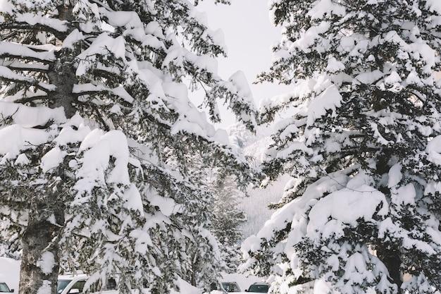 Pijnbomen bedekt met sneeuw